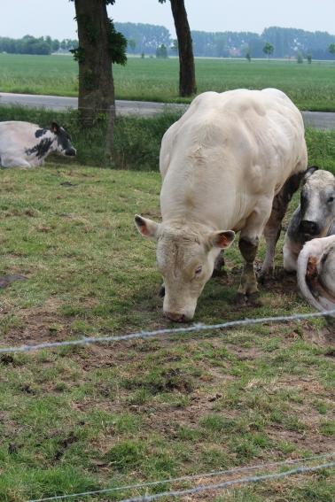 De stier zag ons precies niet zo graag komen. Dreigende schraapte hij zijn poot tegen de grond